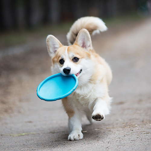Dog carrying a frisbee