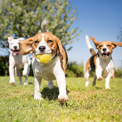 3 dogs with a ball