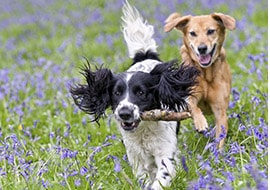 Two dogs running in bluebonnets