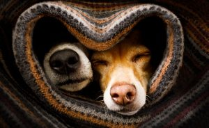 Two dogs wrapped in a blanket